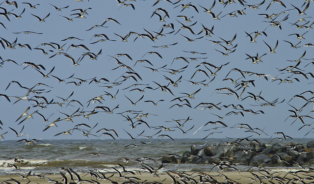 Black Skimmers in Grand Isle, La Photo: Erik Johnson, Audubon Louisiana