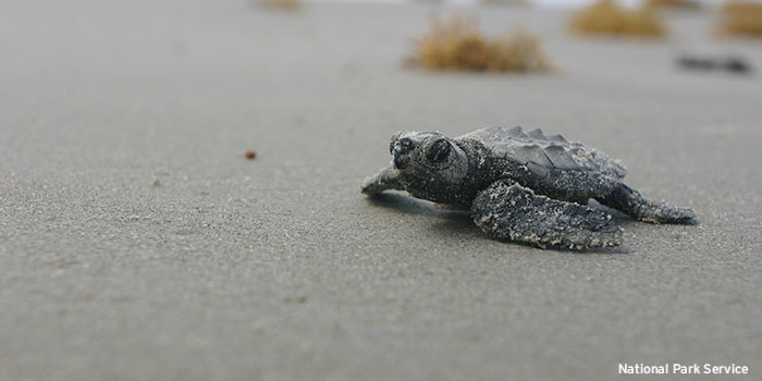 Twenty percent of the adult female Kemp's ridley sea turtles may have been killed during the disaster, possibly explaining the turtles' low nest counts. Photo by National Park Service