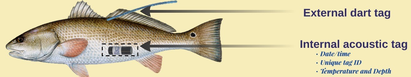 Diagram of redfish with an acoustic transmitter. Image credit: Ashley Ferguson, LDWF